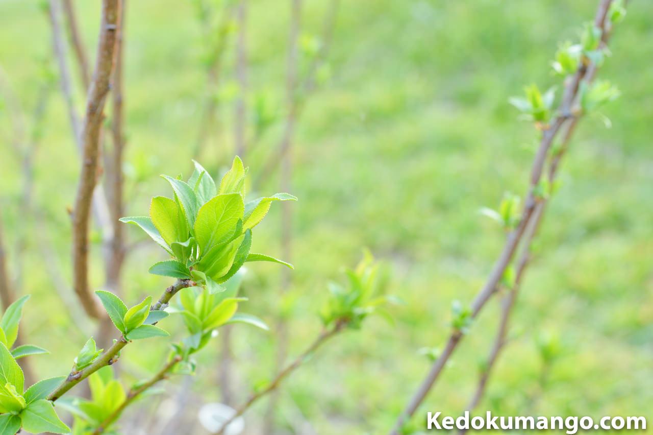 3月の「すもも」の美しい新緑
