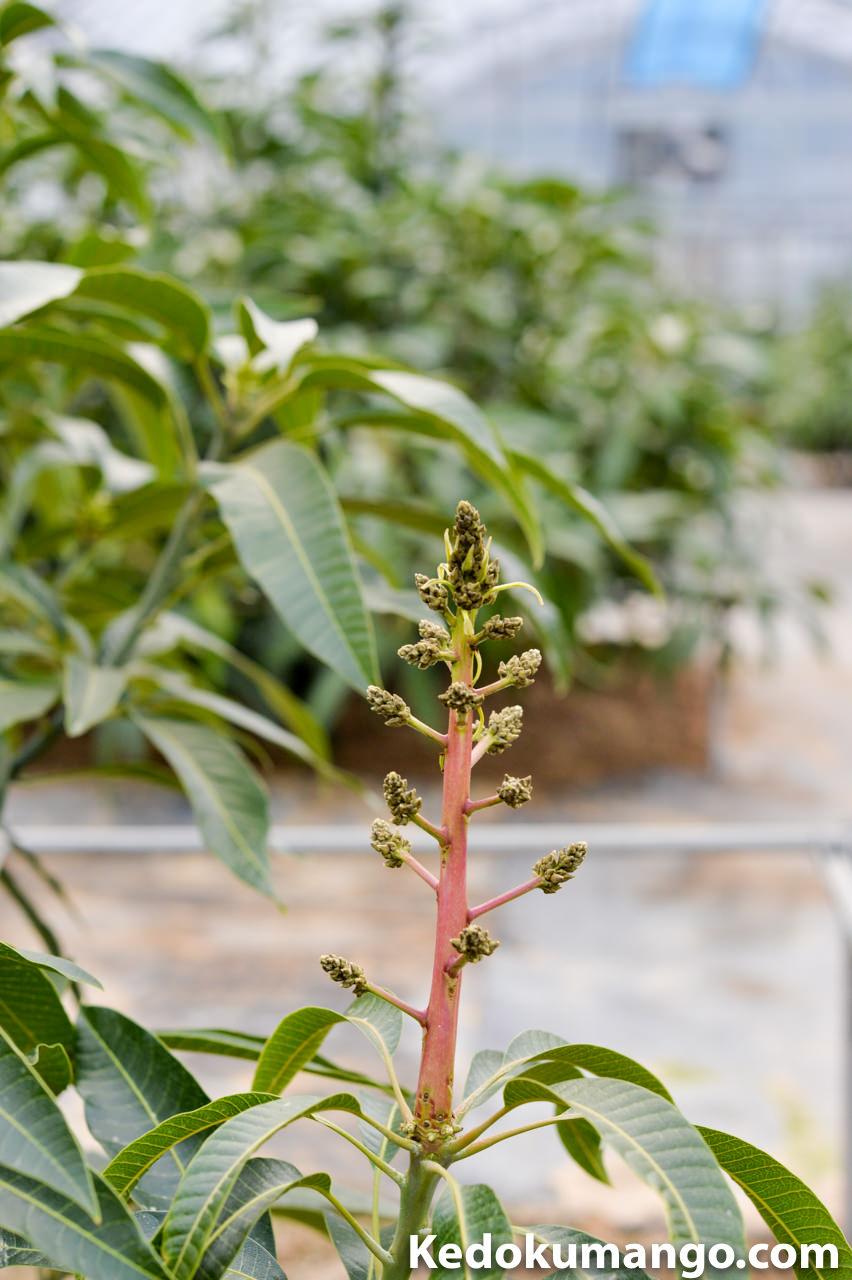 マンゴーの花の開花直前の様子-2