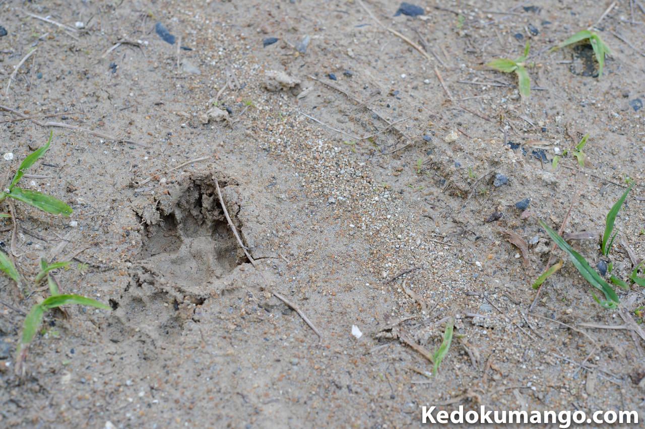 猪or野犬の足跡
