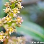 2016年3月9日_マンゴー(アーウィン種)の花が開花したぞ!