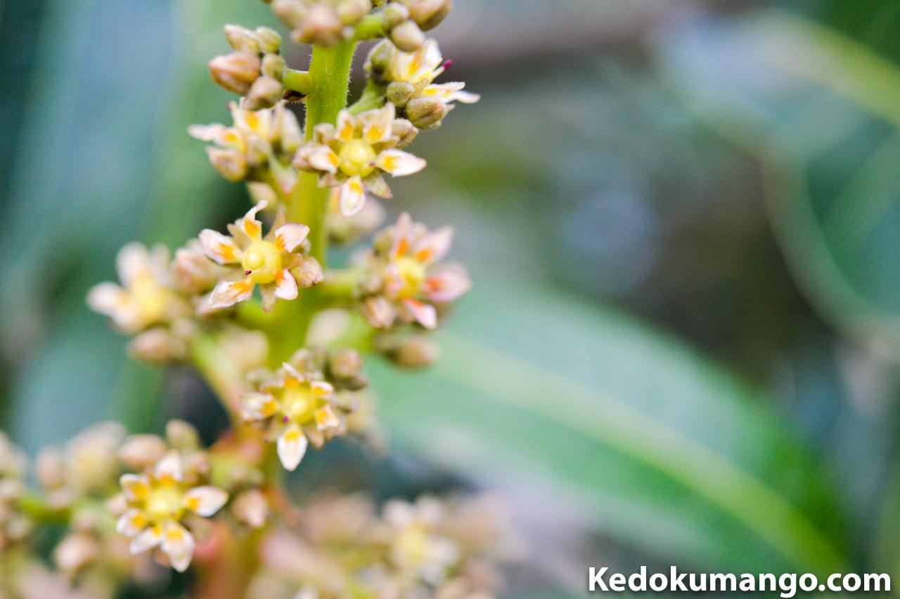 2016年3月9日_マンゴー(アーウィン種)の花が開花したぞ! | 花徳マンゴー