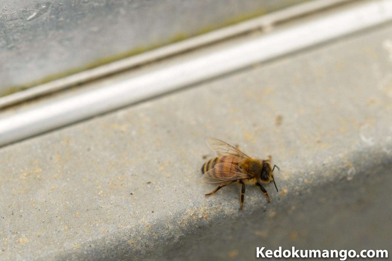 ビニールハウス内でのミツバチの様子