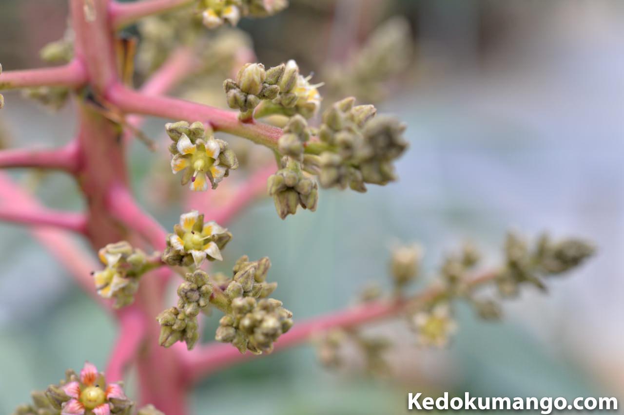 2016年3月中旬のマンゴー(アーウィン種)の花が咲いている様子-2
