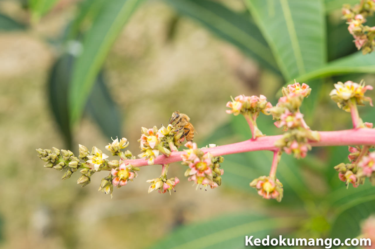 マンゴーの受粉活動をするミツバチの様子-3