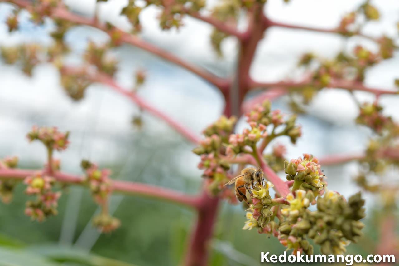 マンゴーの受粉活動をするミツバチの様子-4