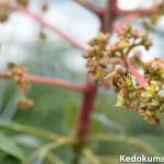 徳之島でマンゴーの受粉活動を頑張る「ミツバチ」の働きぶりを見てみよう!