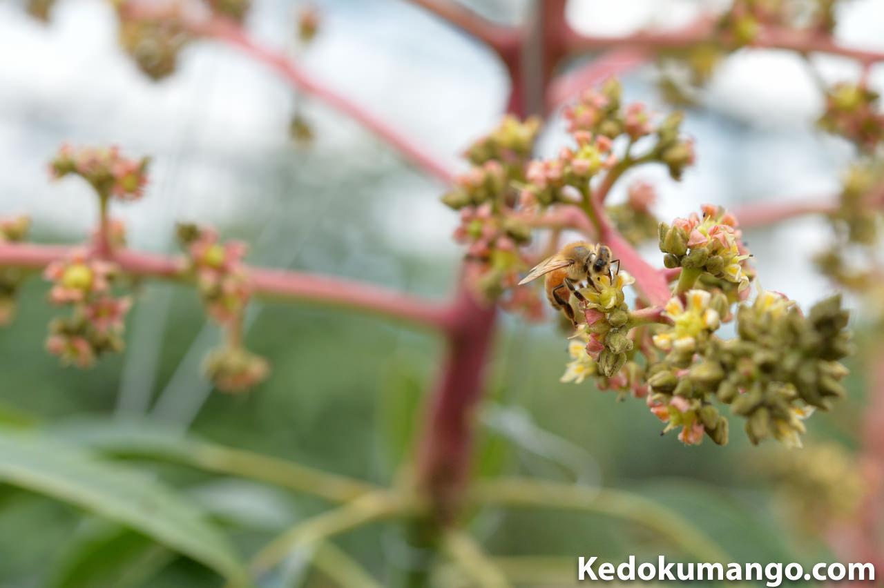 マンゴーの受粉活動をするミツバチの様子-5
