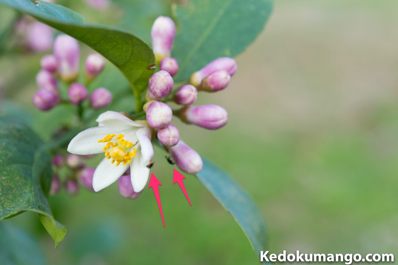 レモンの花に近づいている昆虫