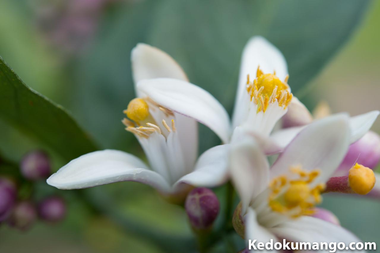 マクロレンズで撮影したレモンの花-2