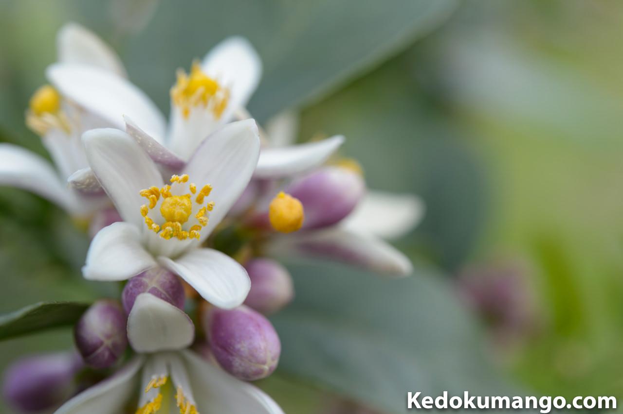 マクロレンズで撮影したレモンの花-1
