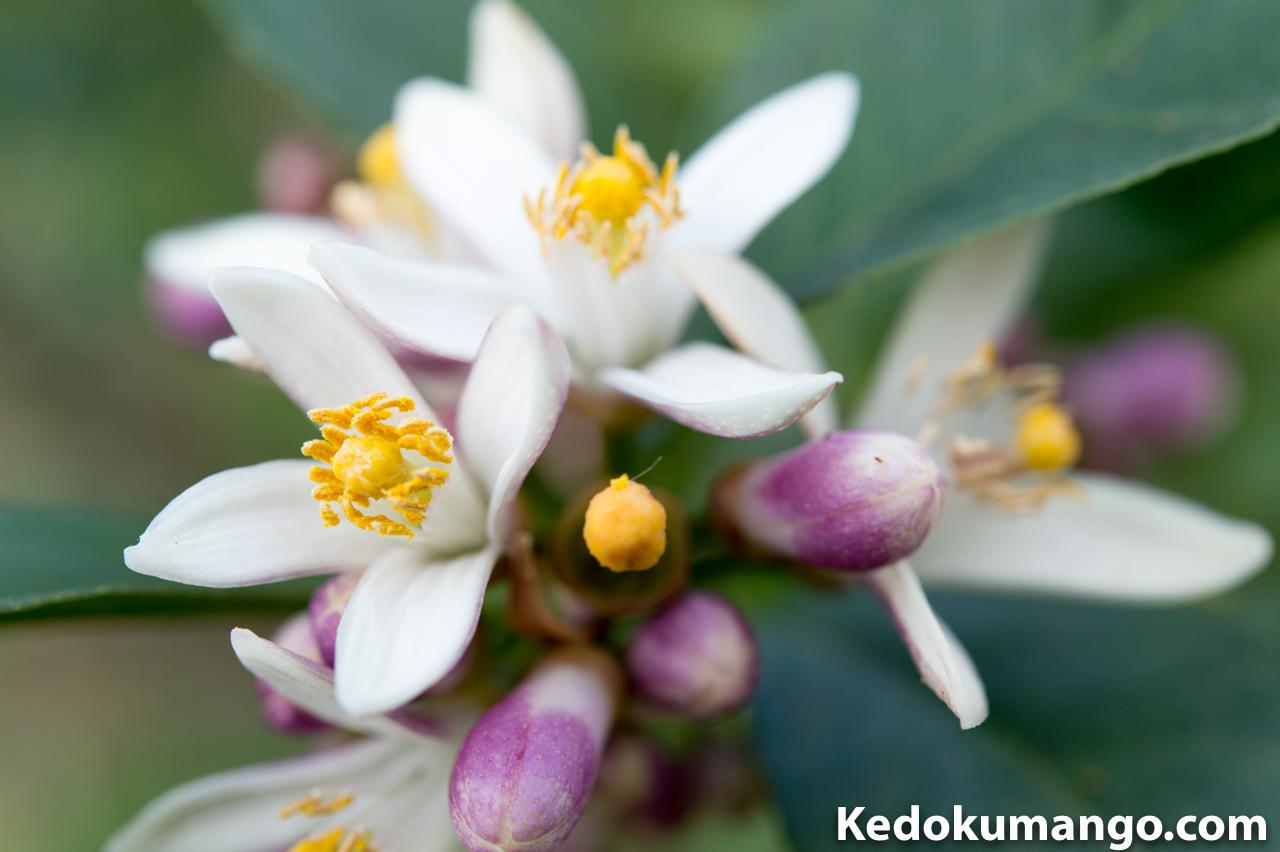 レモンの花が綺麗に咲き始めたよ! | 花徳マンゴー
