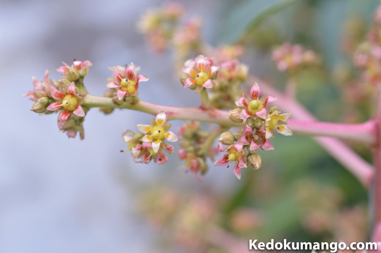 2016年3月下旬のアーウィンマンゴーの花