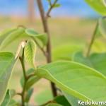 世界三大果樹である「チェリモヤ・アテモヤ」も元気が出てきたぞ!