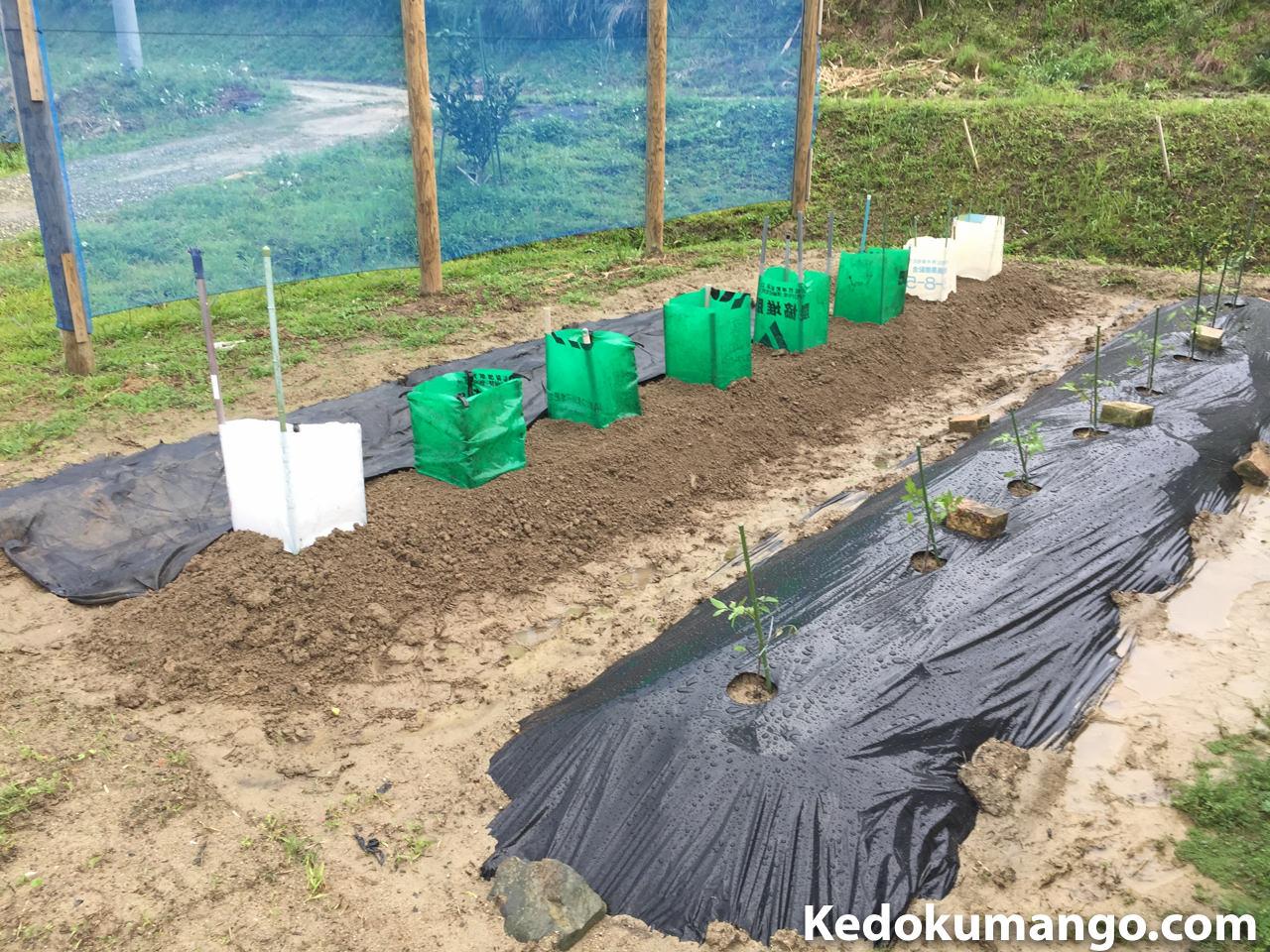 家庭菜園へきゅうりを植え付けた直後の様子