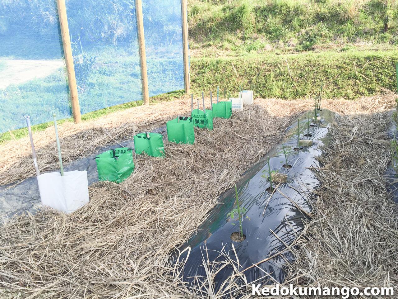 家庭菜園に「きゅうり」の苗を植え付けたよ! | 花徳マンゴー