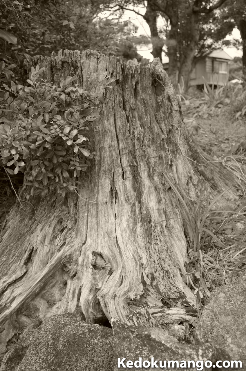 Ricoh GR2の白黒(TE)で撮影した樹の根株