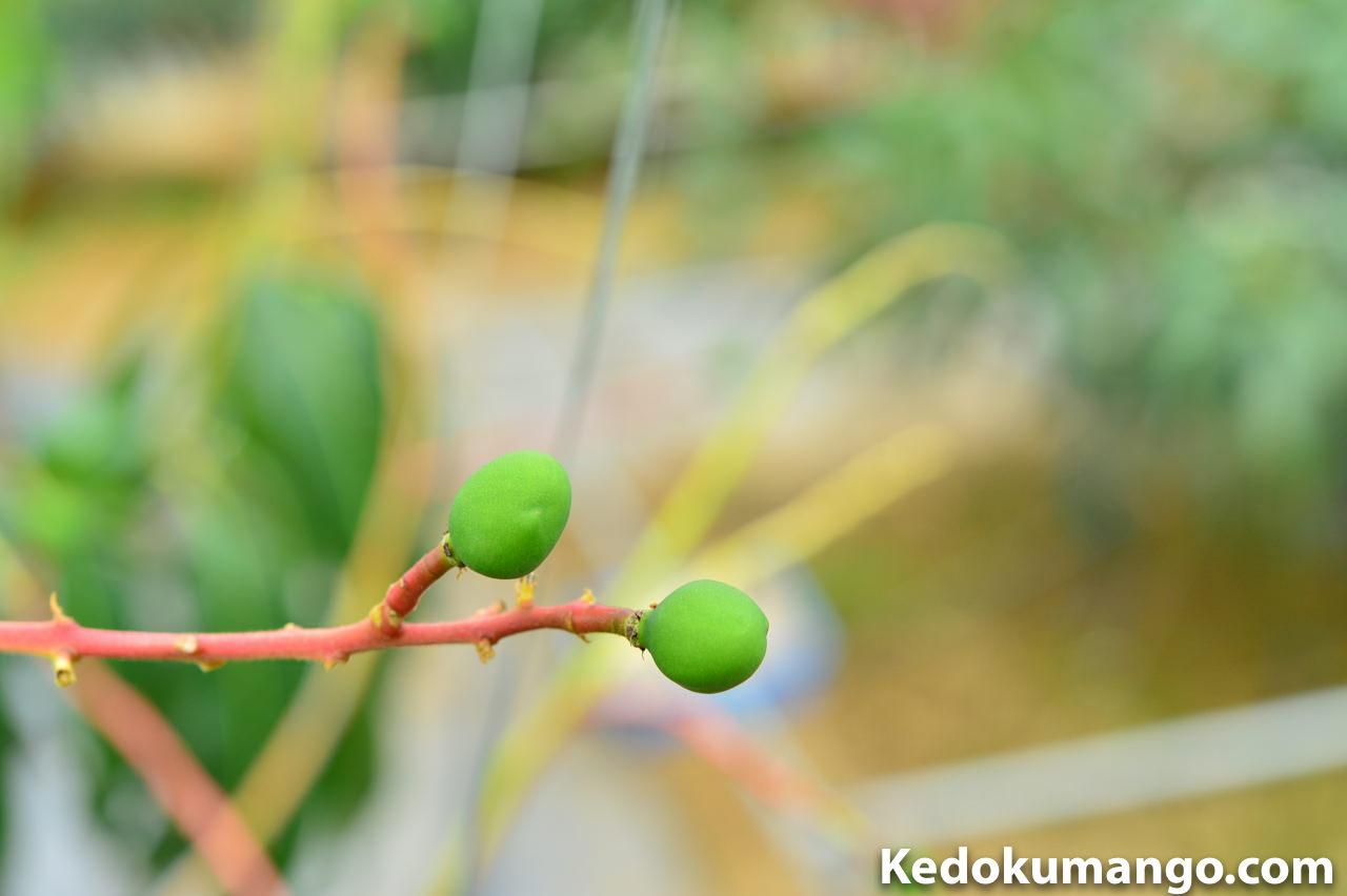 摘果の対象となるキーツマンゴー_3