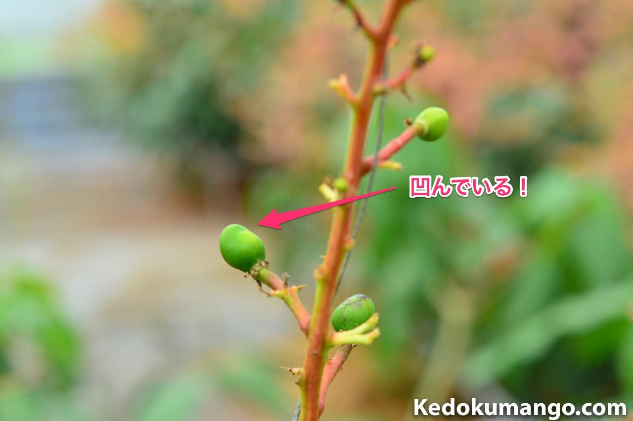 摘果の対象となるマンゴーの例_2