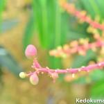 マンゴーの栽培暦(2016年5月編)
