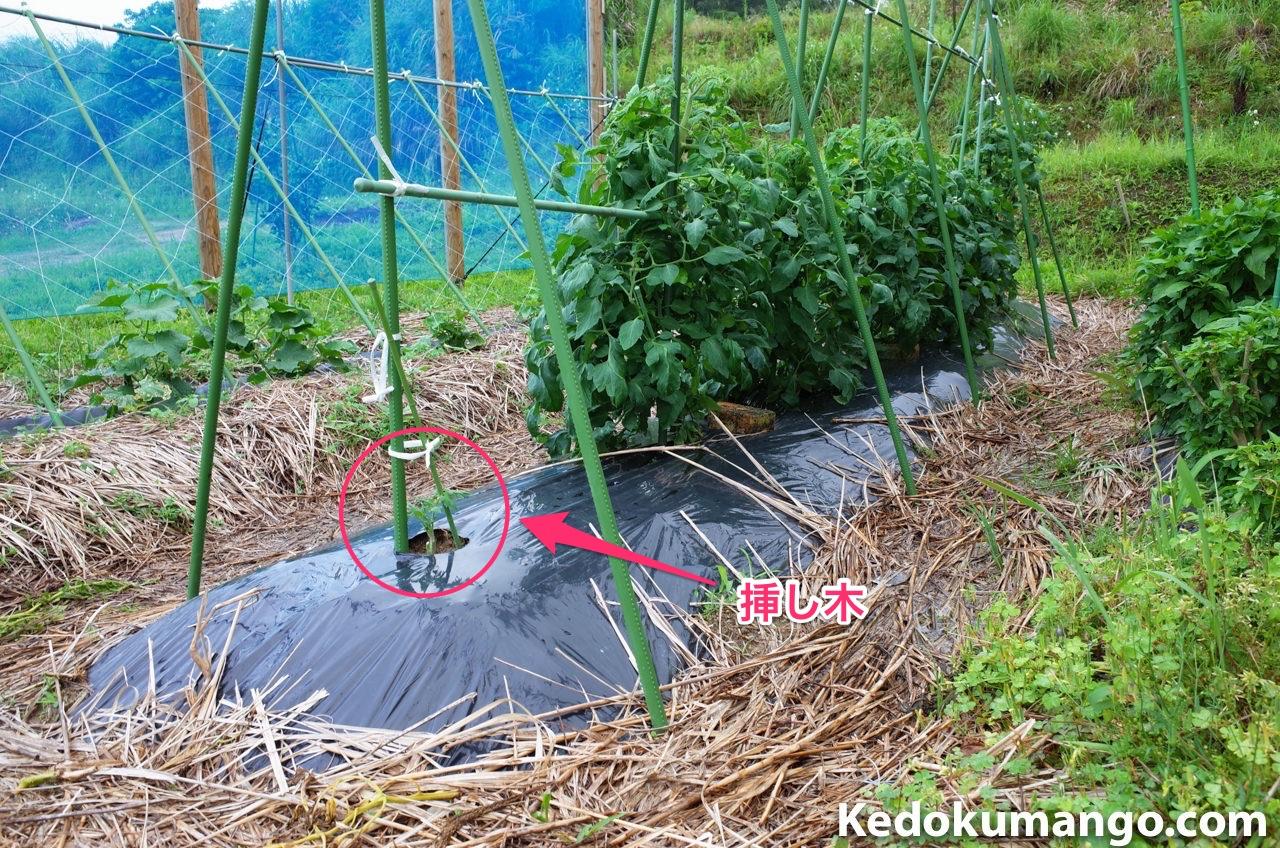 トマトを挿し木で増やしている様子_全景