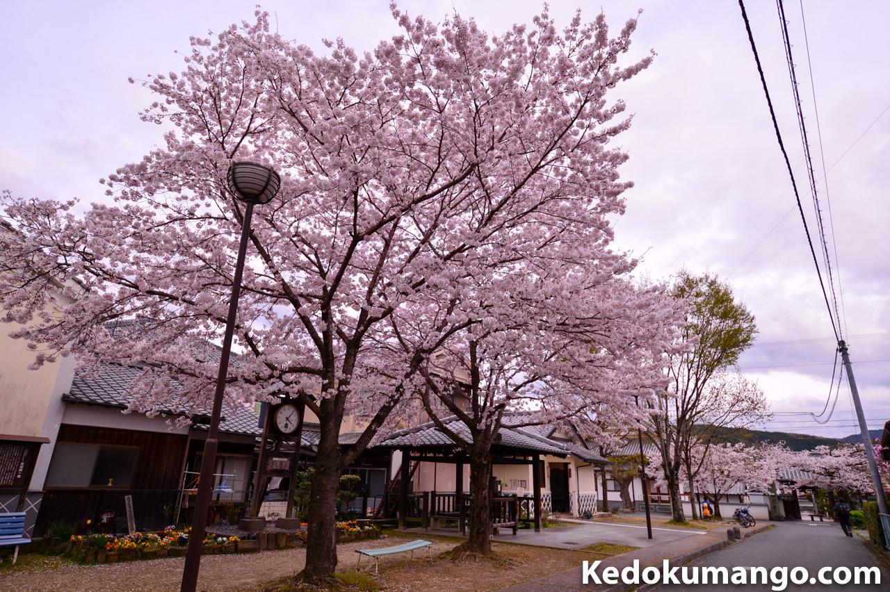 ニッコールレンズフォトツアーでのスナップ写真-桜1