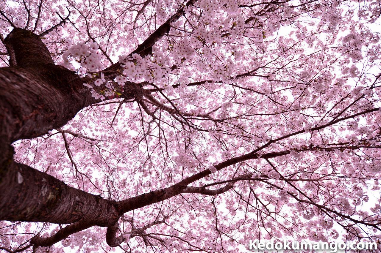 ニッコールレンズフォトツアーでのスナップ写真-桜2