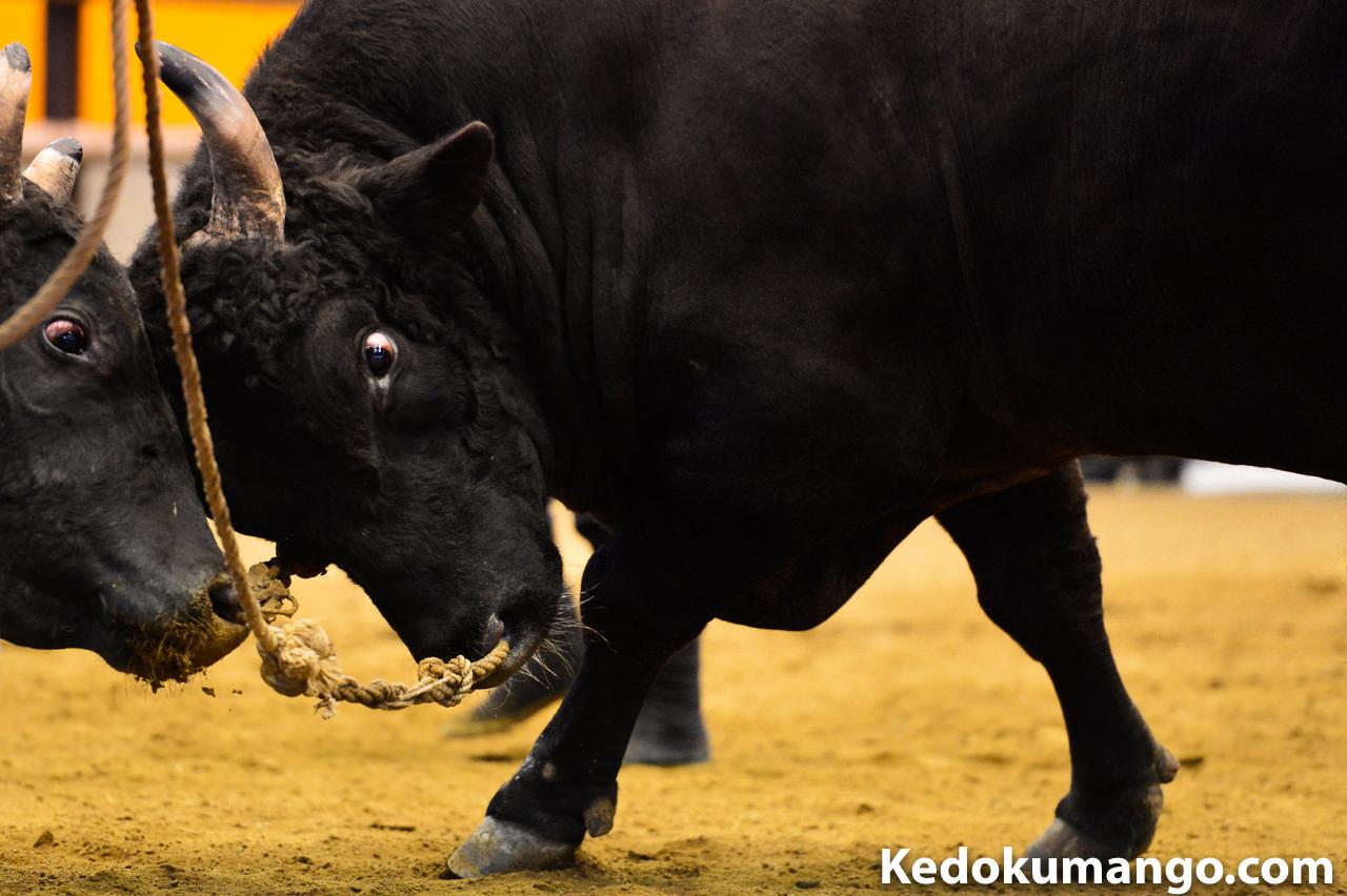 闘牛で戦う牛の眼