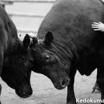 徳之島人が「ニッコールレンズフォトツアー」で「宇和島闘牛」を観戦してきたぞ!