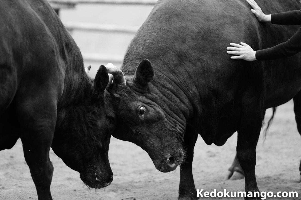 徳之島人が「ニッコールレンズフォトツアー」で「宇和島闘牛」を観戦してきたぞ! | 花徳マンゴー