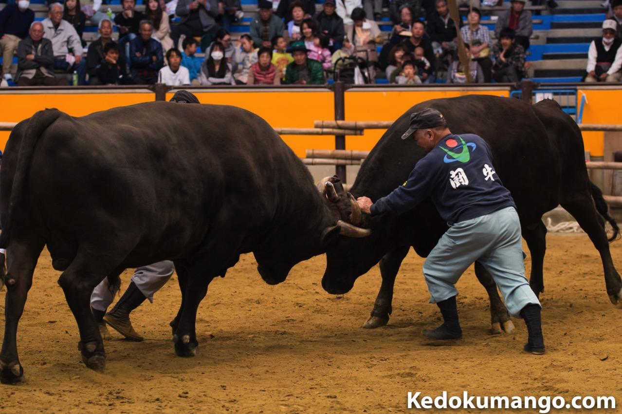 宇和島闘牛の様子-1