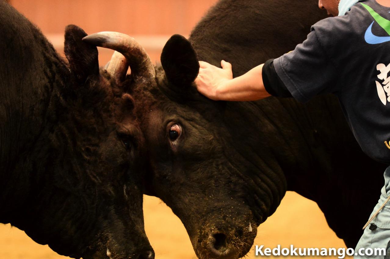 闘牛で戦う牛の眼-3