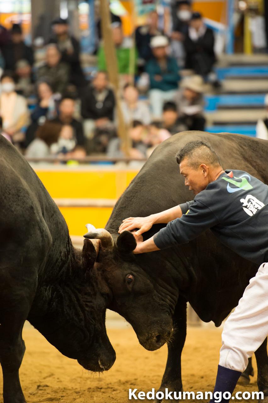 宇和島闘牛の勢子-3