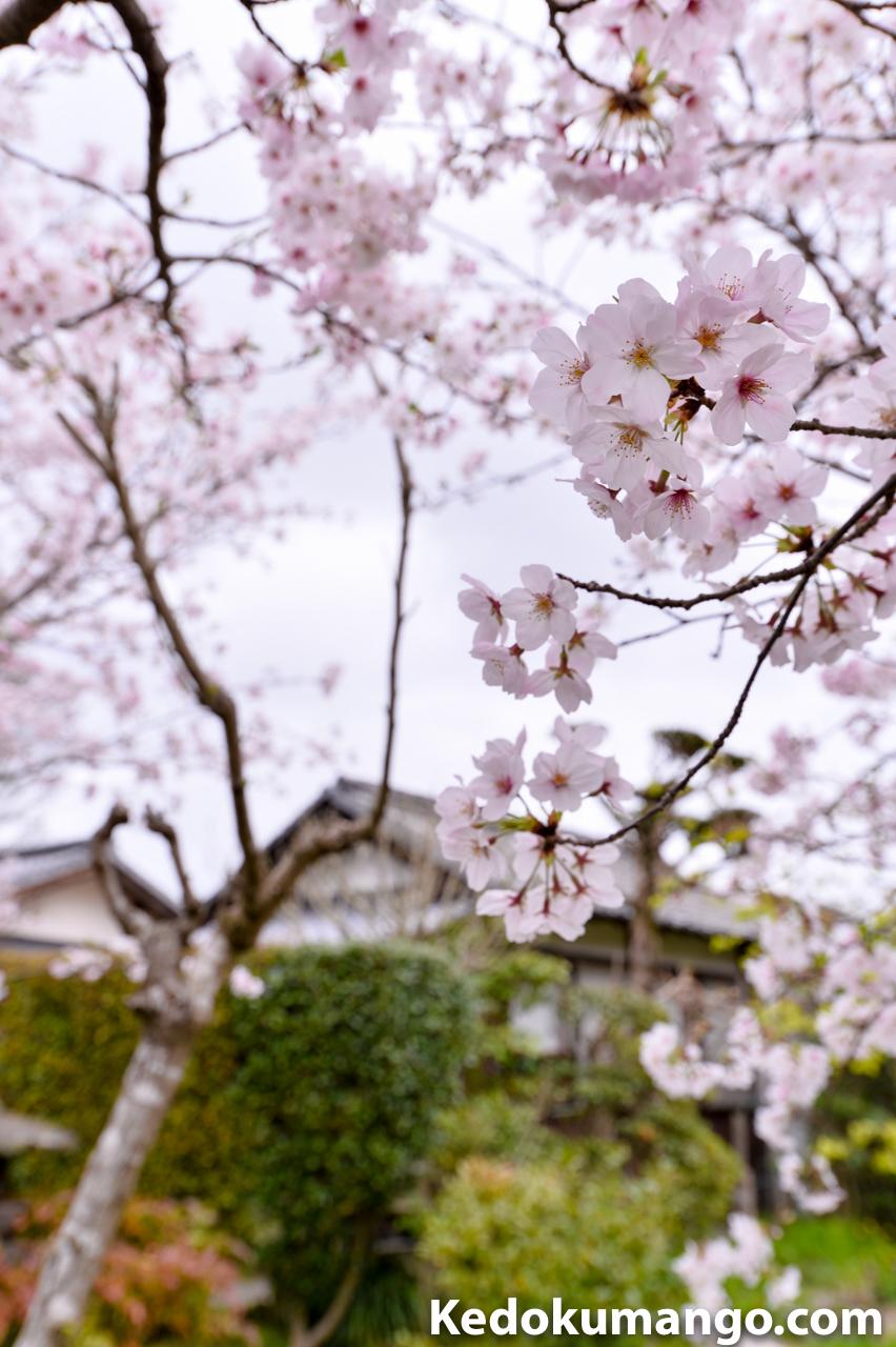 ニッコールレンズフォトツアーで撮影した写真-桜と日本庭園