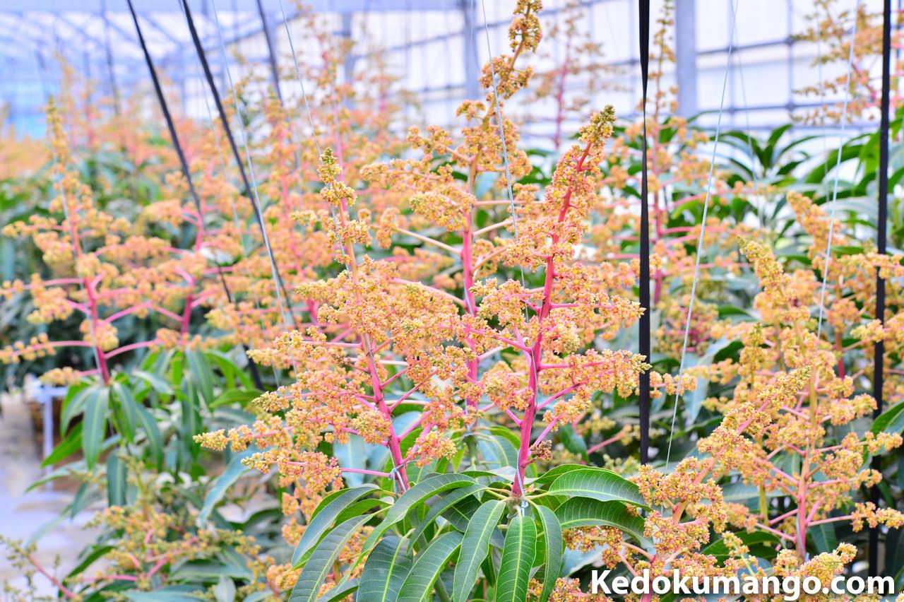 マンゴーの花が満開に近づいてきました! | 花徳マンゴー
