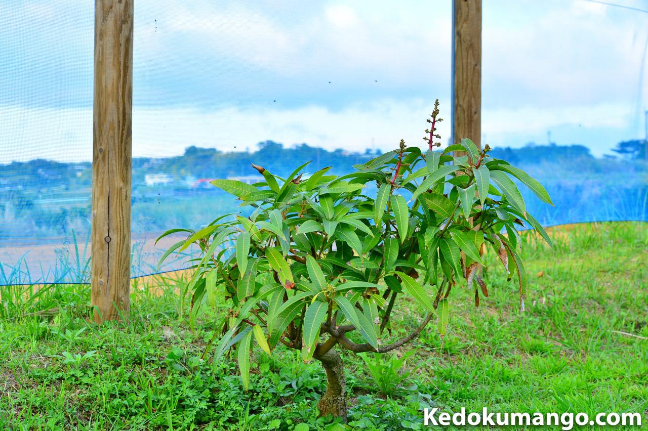養生中のマンゴーの樹