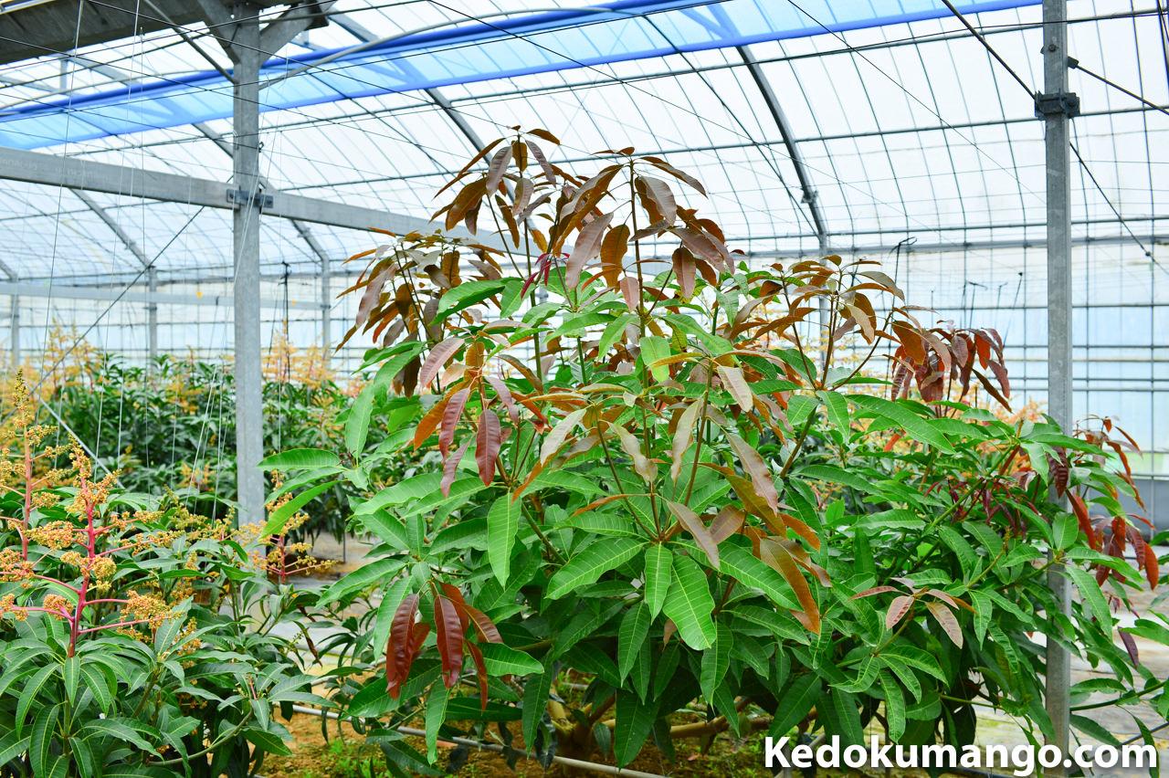 マンゴーの原種が新芽を吹き出した様子
