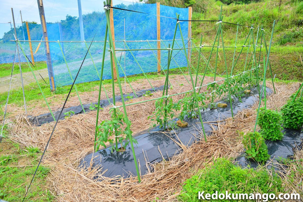 家庭菜園の「きゅうり」や「トマト」の為に生育棚を設けたよ! | 花徳マンゴー