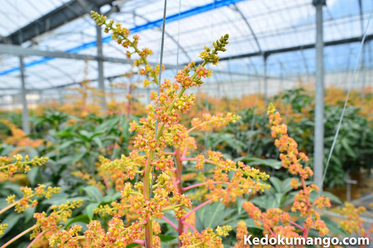 マンゴーの花吊りの様子-3