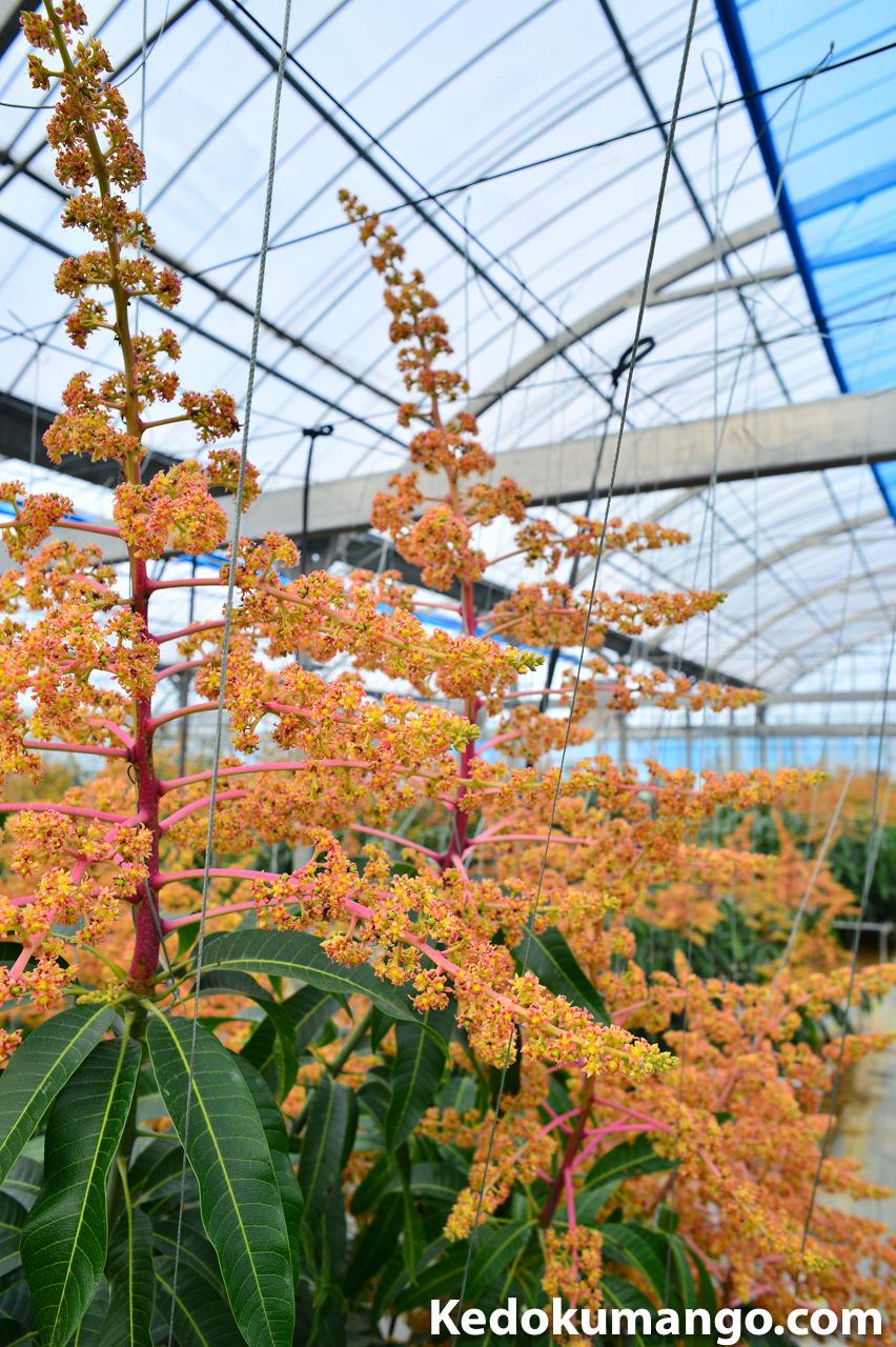 マンゴーの花吊りの様子-2