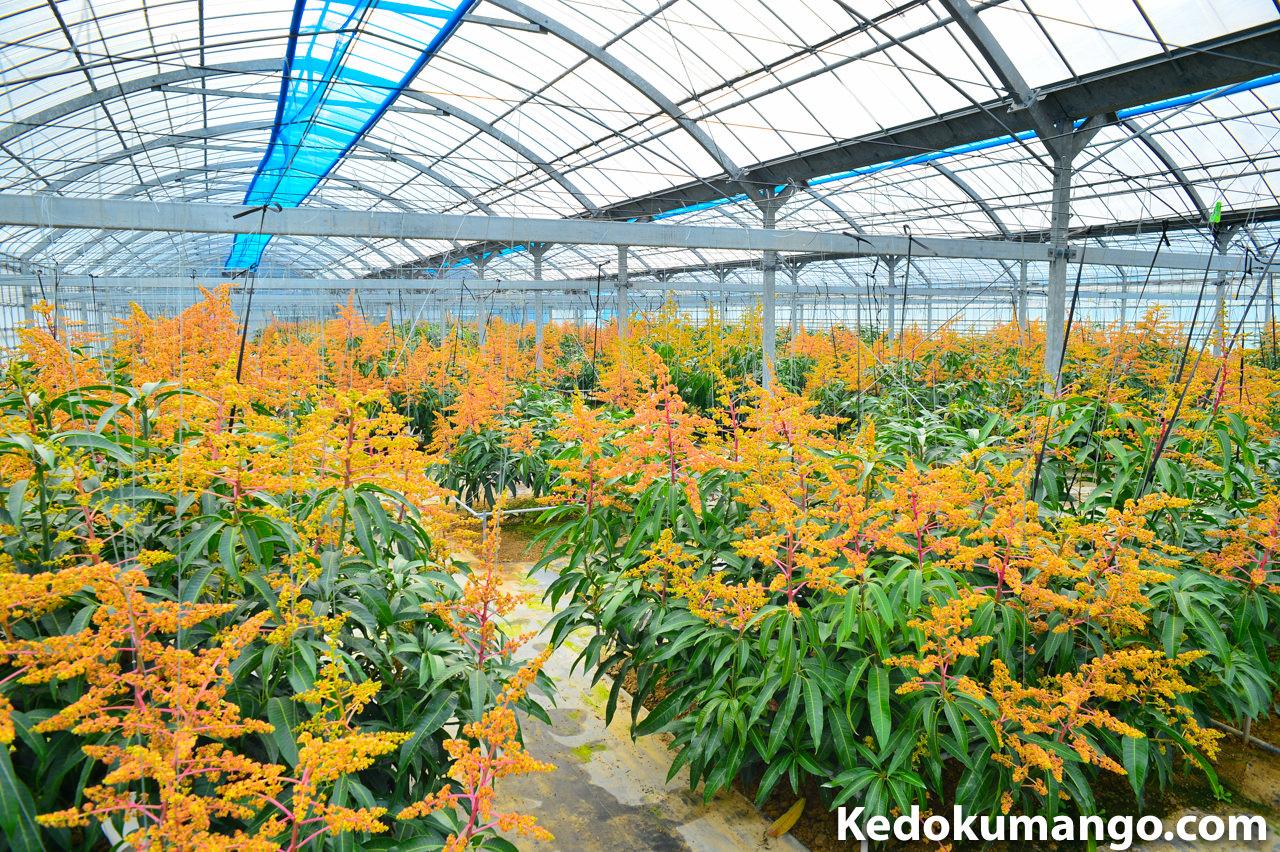 ほぼ満開となったマンゴー栽培のビニールハウスの様子