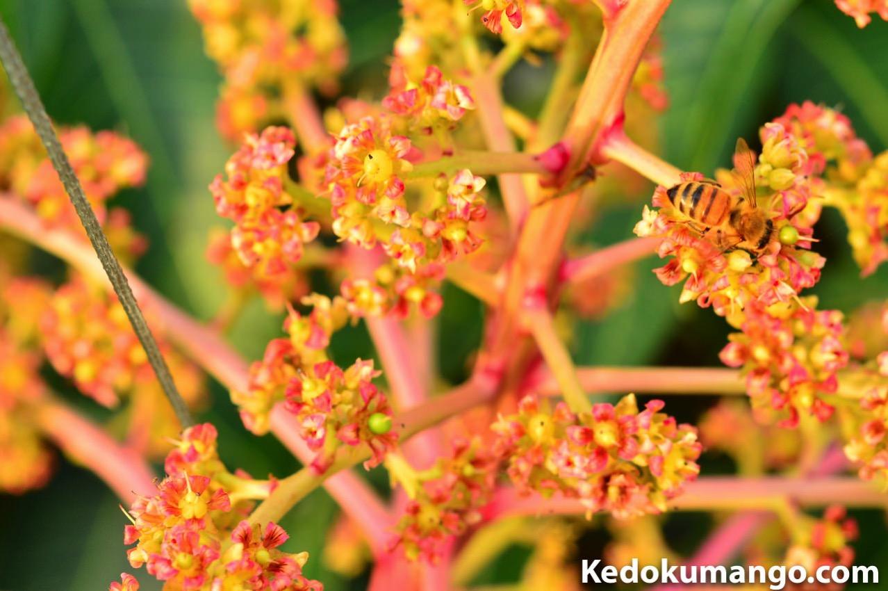マンゴー栽培でのミツバチ達の受粉の様子-1