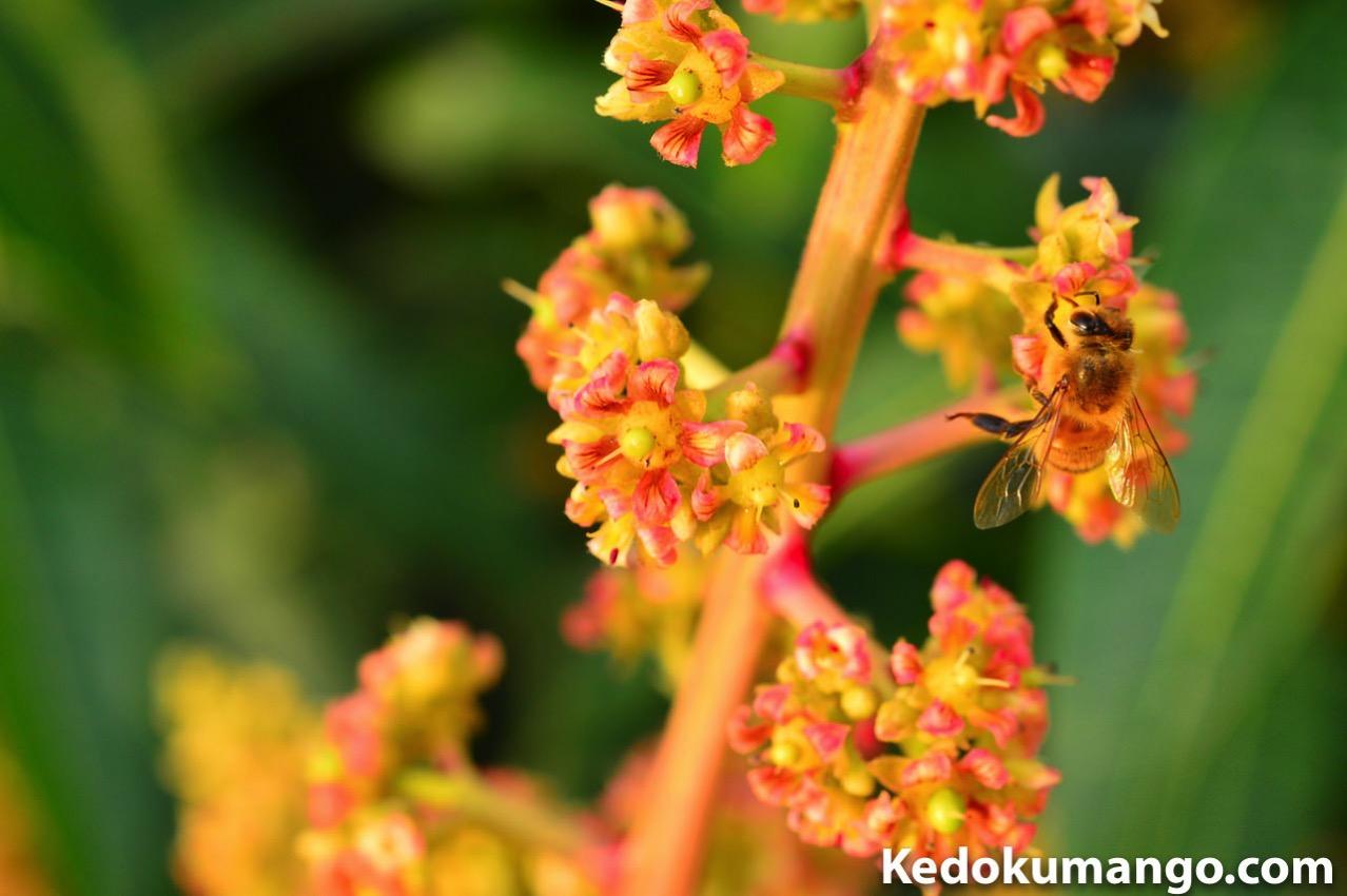 マンゴー栽培でのミツバチ達の受粉の様子-2