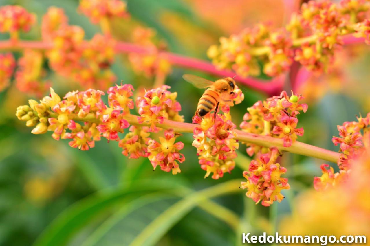 マンゴー栽培でのミツバチ達の受粉の様子-3