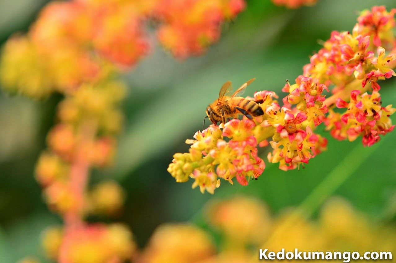 マンゴー栽培でのミツバチ達の受粉の様子-4