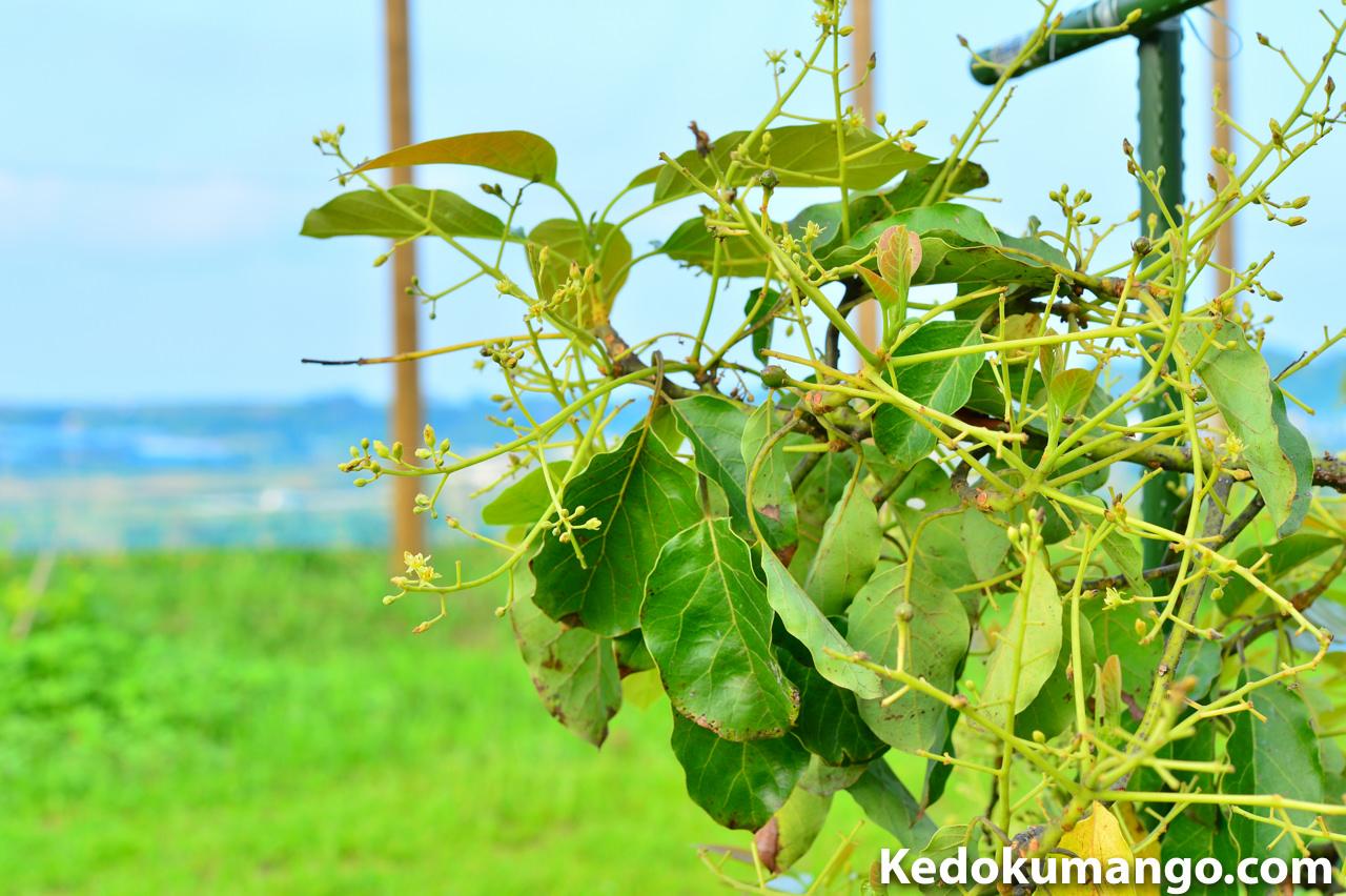 徳之島で栽培するアボカドが着果した様子-1
