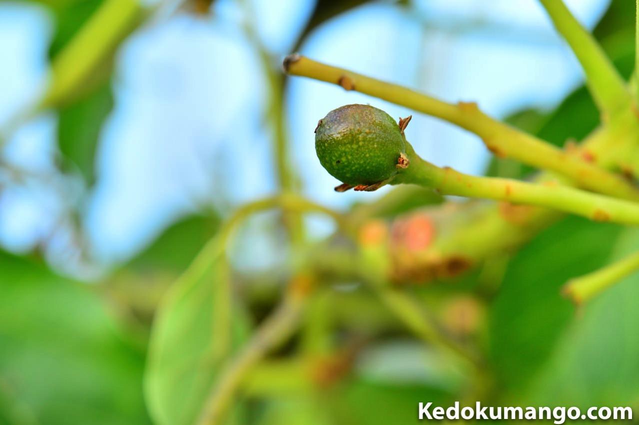 マクロレンズで撮影した徳之島で栽培するアボカドの果実-1
