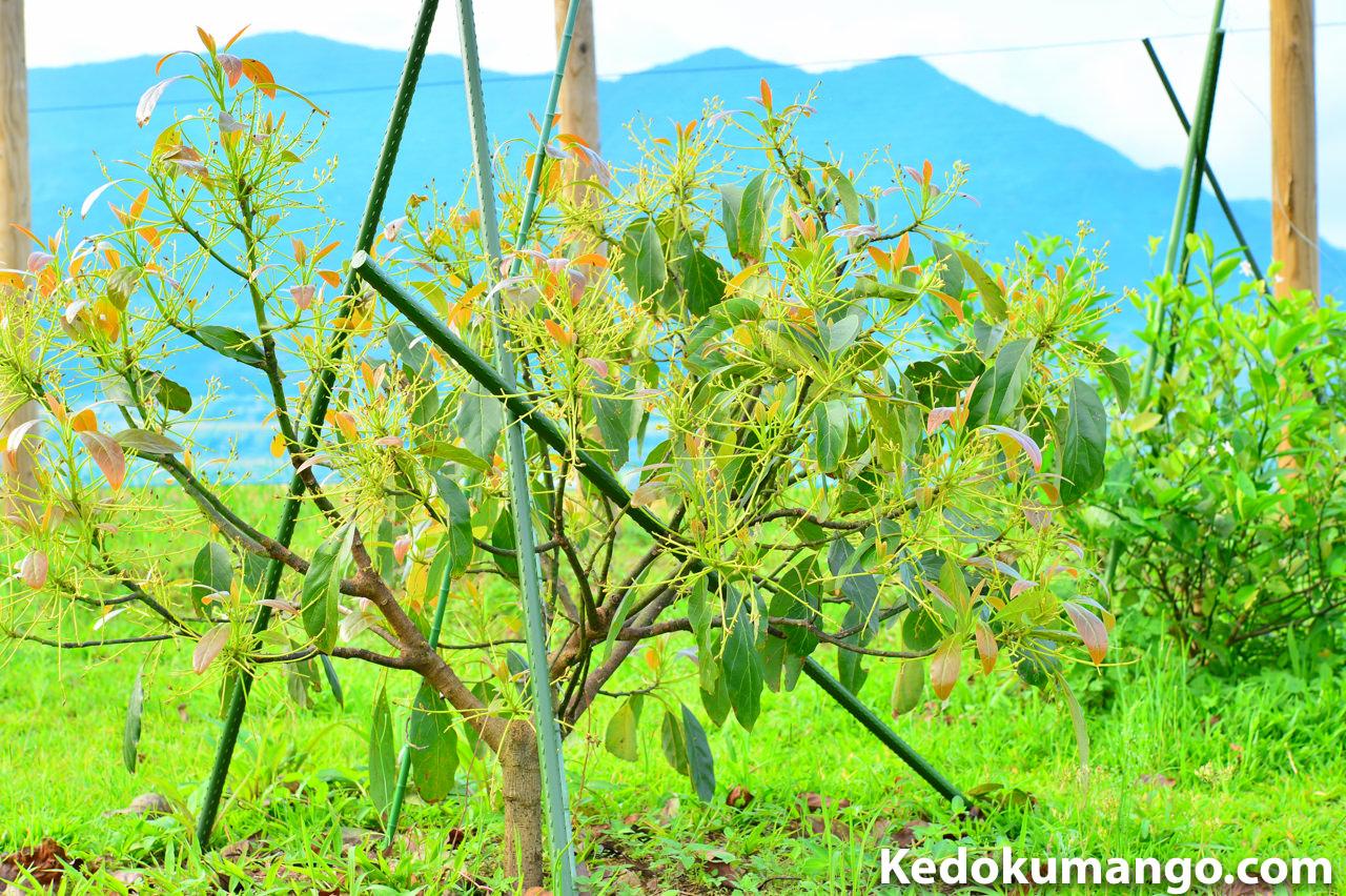 2016年4月の徳之島で栽培するアボカドの様子