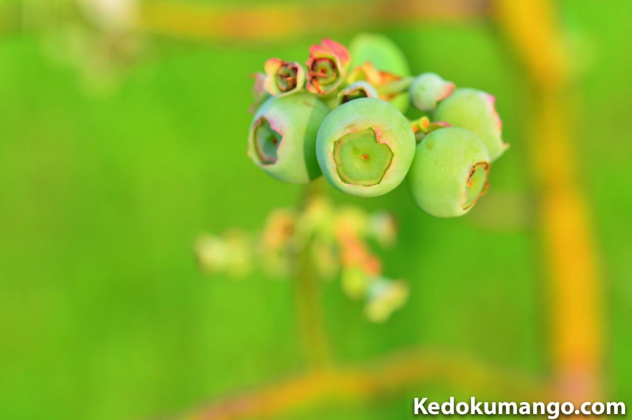 徳之島で栽培するブルーベリーの着果の様子_4