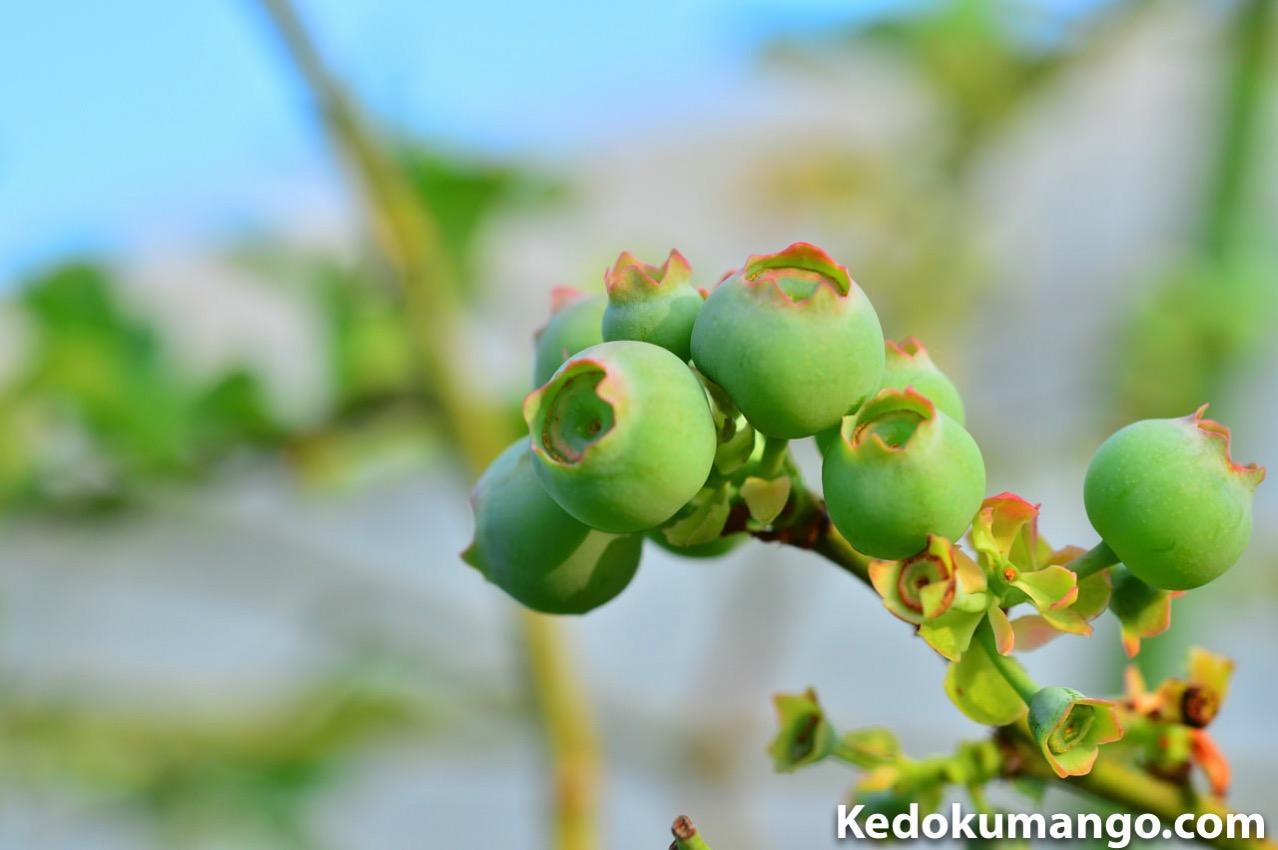 徳之島で栽培するブルーベリーの着果の様子_1