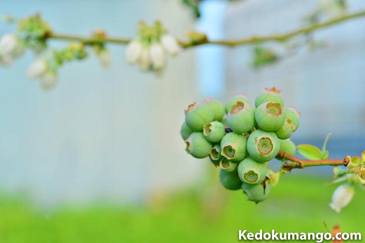 徳之島で栽培するブルーベリーの着果の様子_2